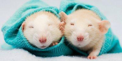 Все о декоративных крысах